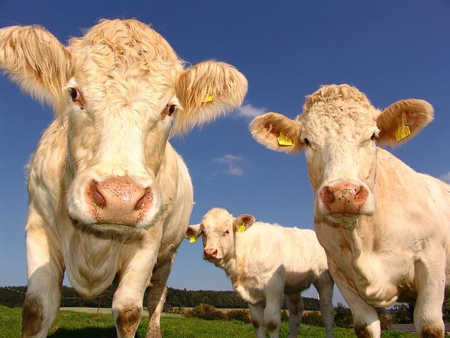 écornage des bovins